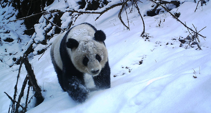 Giant Panda in the snow
