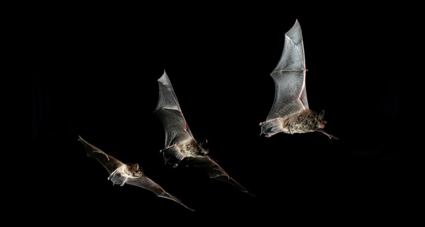 Dauberton's bats