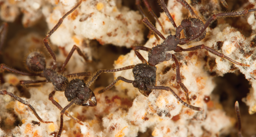 Farming ants with fungus