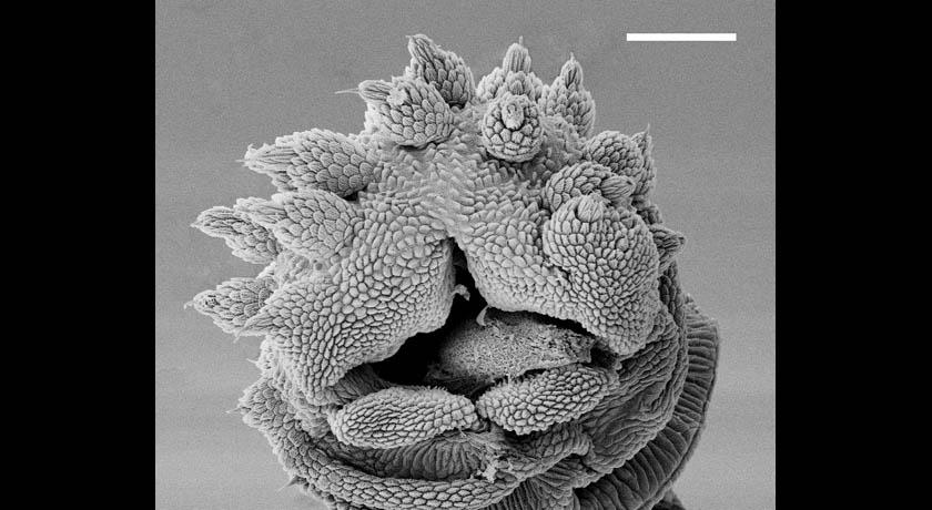 slime tube opening in velvet worm