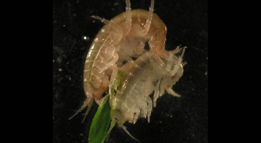 cannibal shrimp