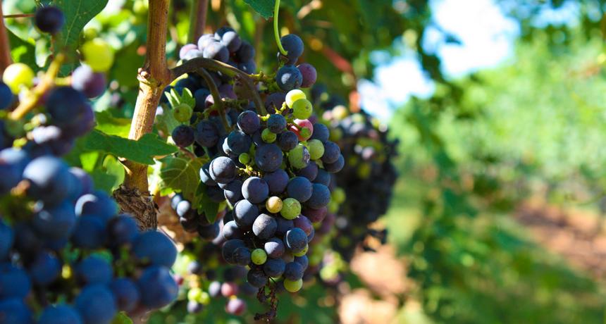 Merlot grapevines