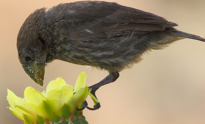 medium ground finch (Geospiza fortis)