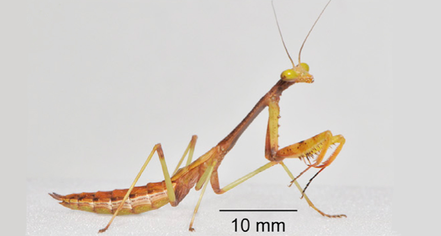 How A Young Praying Mantis Makes A Precision Leap Science News