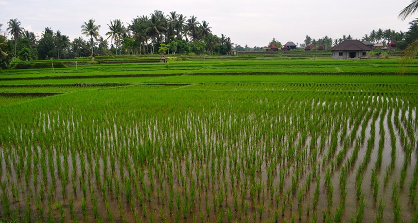 a field of rice