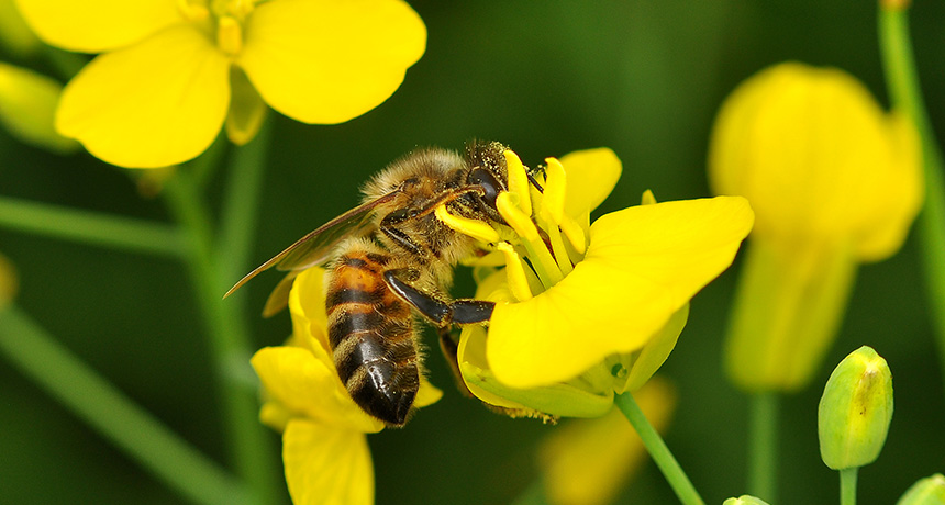 Honeybee on oilseed rape flower