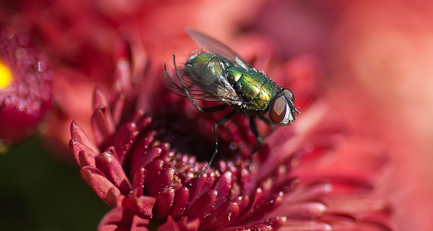 a greenbottle fly