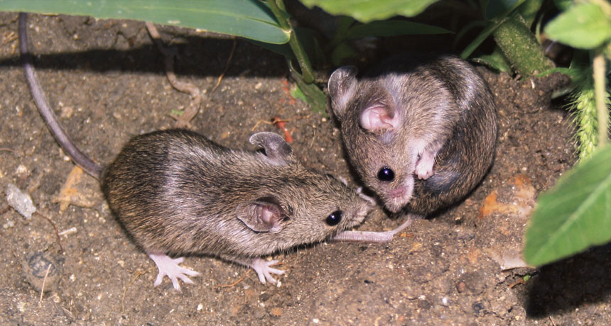 Mound-building Mice