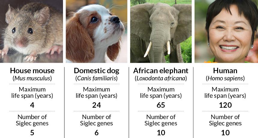 Siglec genes