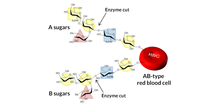 blood cell type enzyme