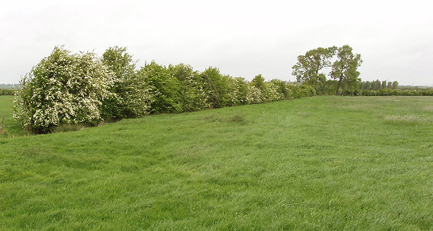 hawthorn hedge row