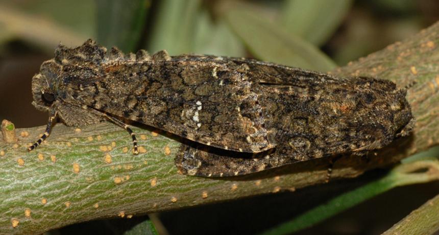 cabbage moths