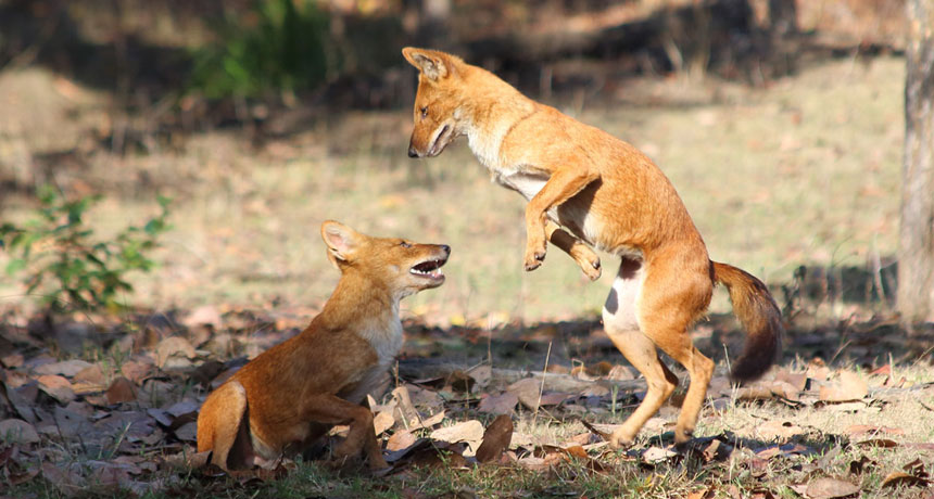 two dholes fighting