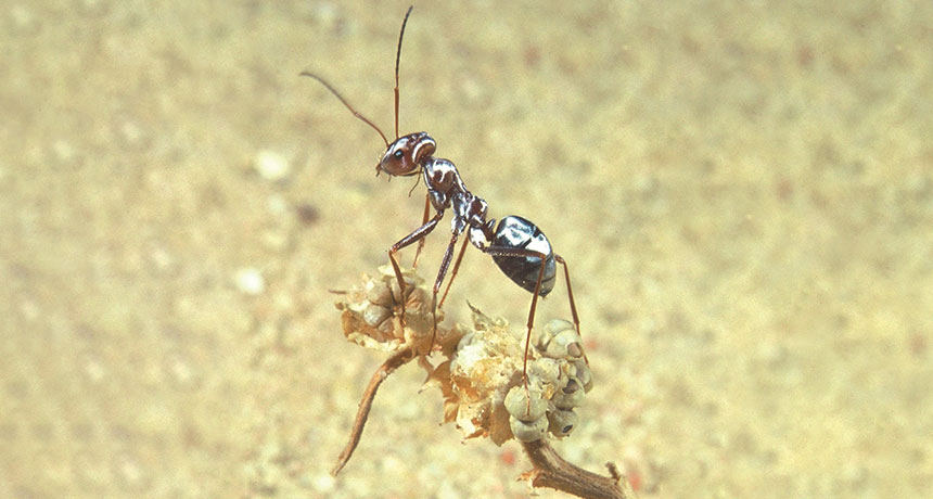 Saharan silver ant stands atop a desiccated plant