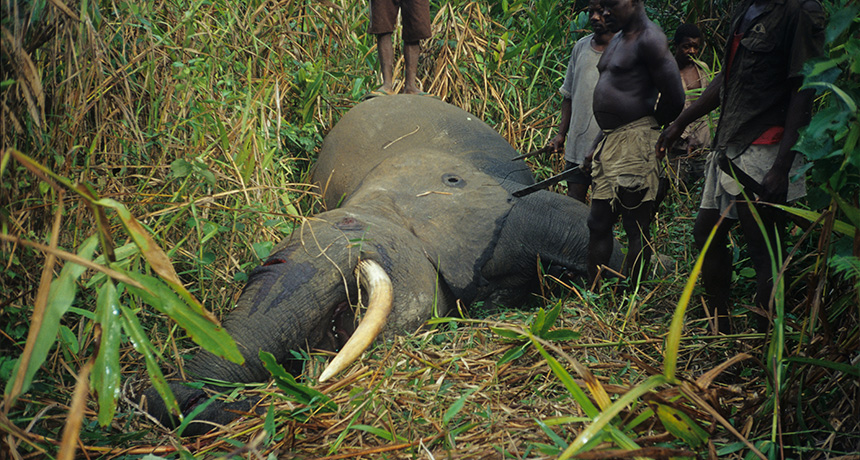 poachers stand over the body of an elephant