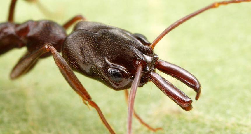 Odontomachus brunneus ant