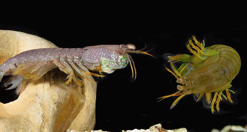mantis shrimps sparring