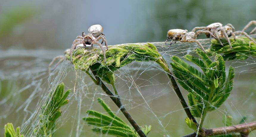 colonies of velvet spiders