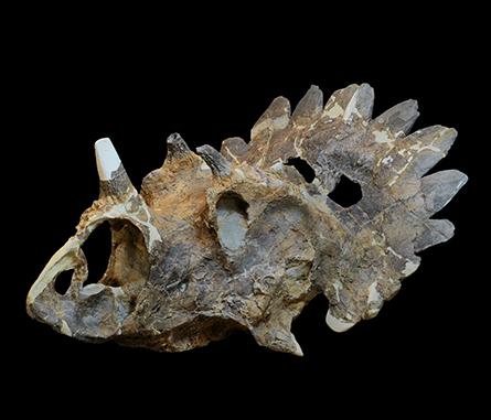 fossilized skull of Regaliceratops peterhewsi