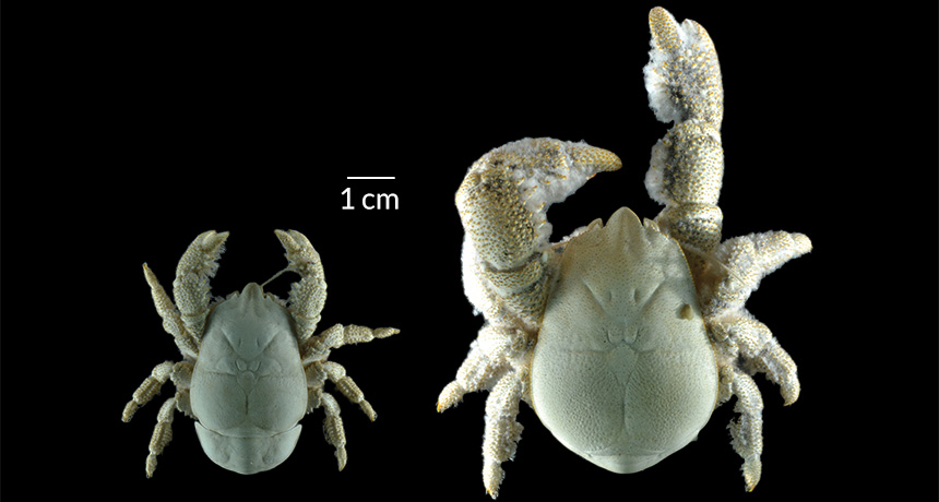 eyeless, compact yeti crab Kiwa tyleri