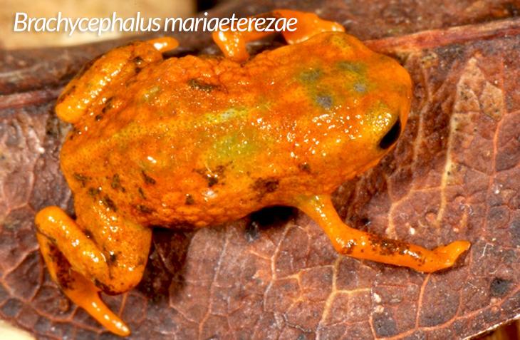 frog species in Brazil