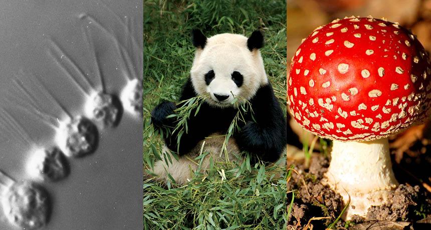 choanoflagellates, panda, mushroom