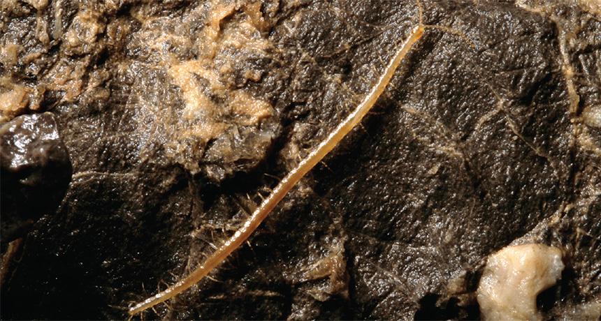 Geophilus hadesi centipede