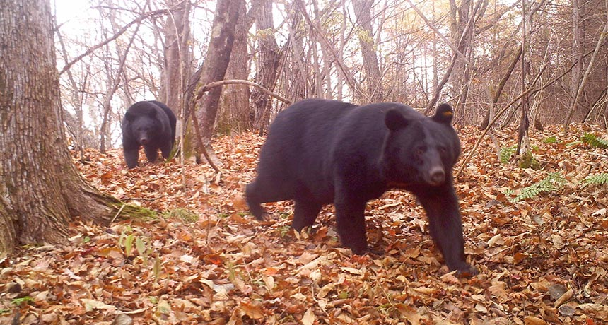 Japanese black bears
