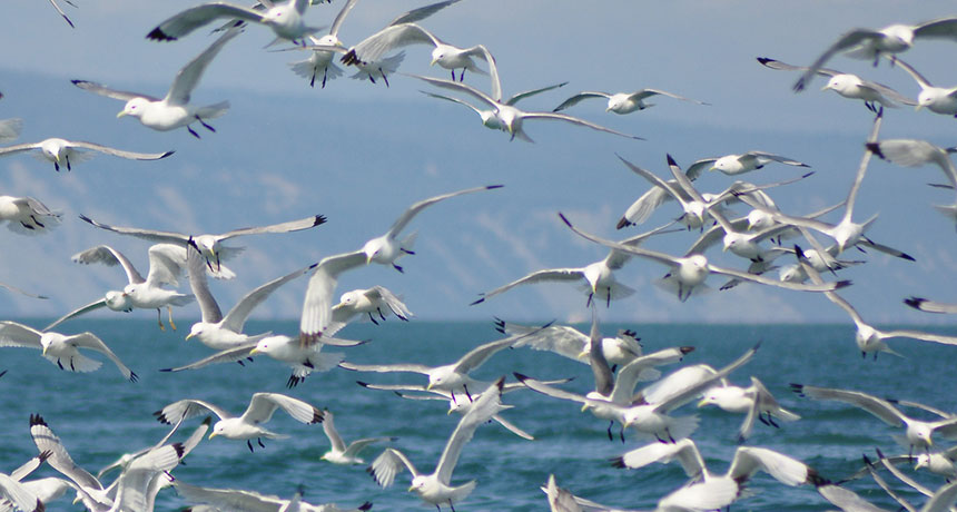 flock of kittiwakes