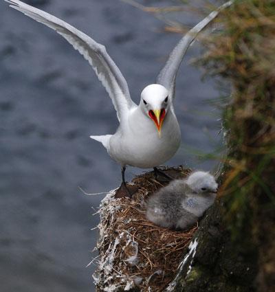 kittiwake and nestling in nest