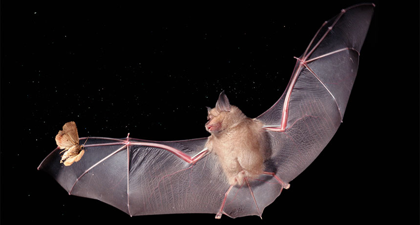 Led Lights Make Moths Easy Targets For Bats Science News