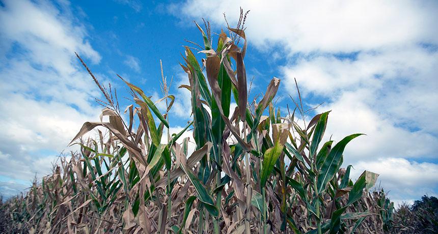 parched corn