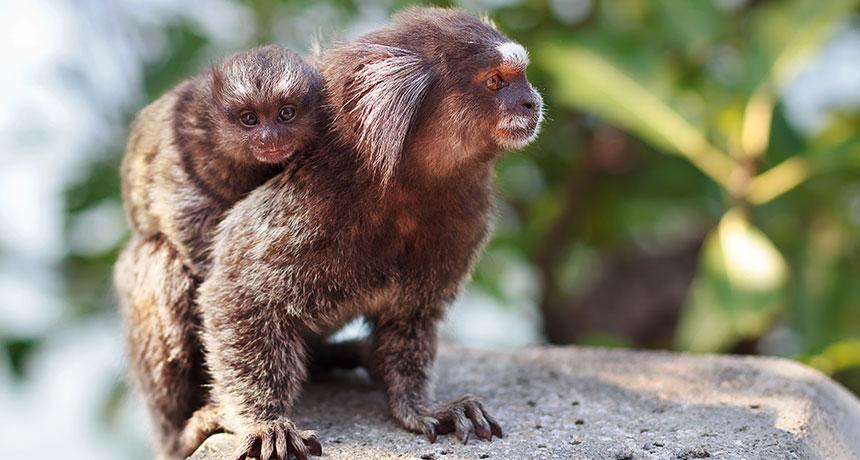 marmoset parent and child