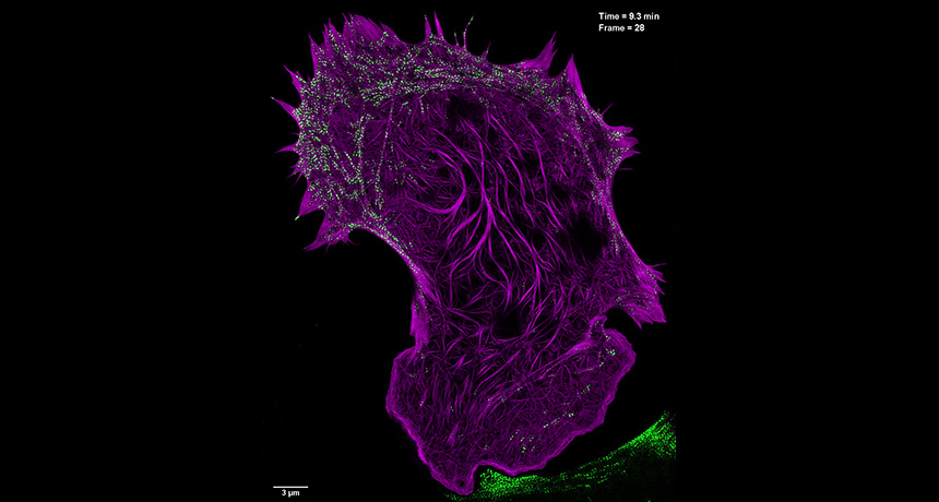 mouse embryonic fibroblast cell