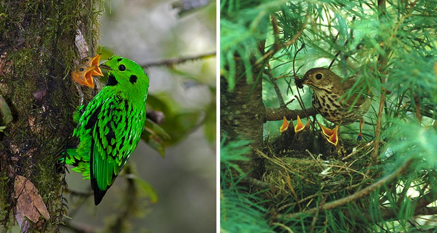 whitehead's broadbill and hermit thrush