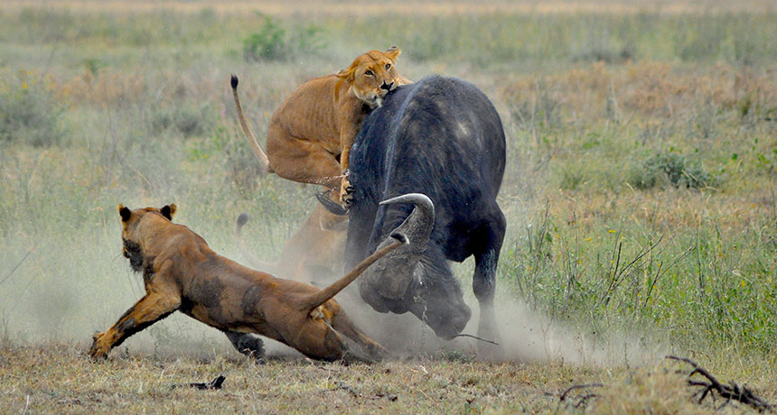 Lions attacking cape buffalo