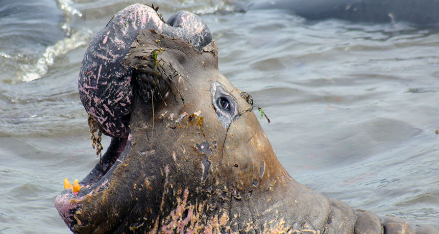 A northern elephant seal shedding