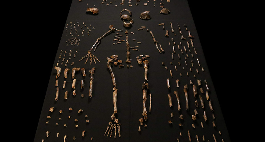 Array of hominid fossils