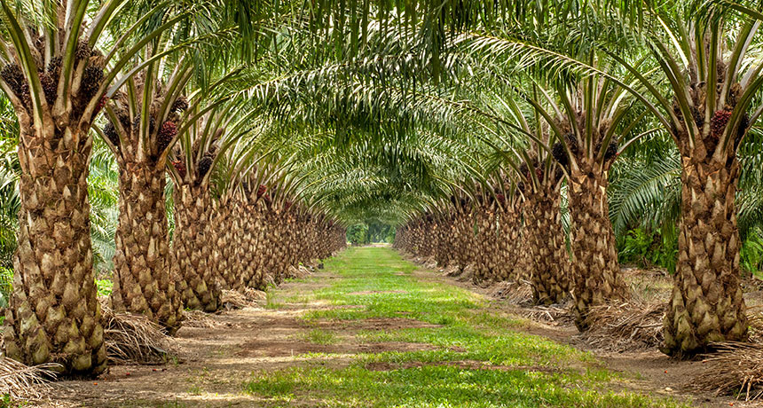 Oil palm plantation