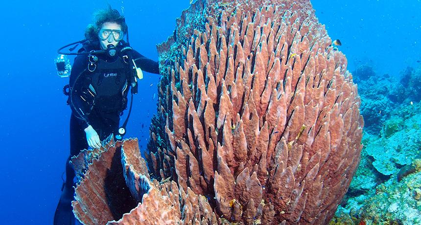Diver with giant barrel sponge