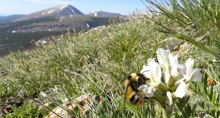 alpine bee feeding on flower