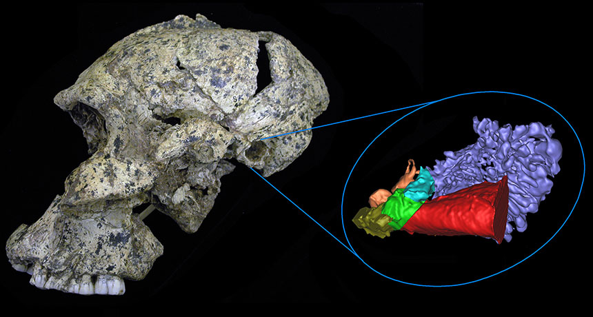 Paranthropus robustus skull and ear anatomy
