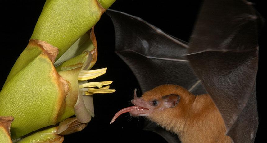 Lonchophylla robusta bat