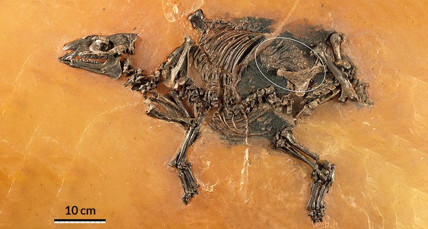 horse fetus fossil