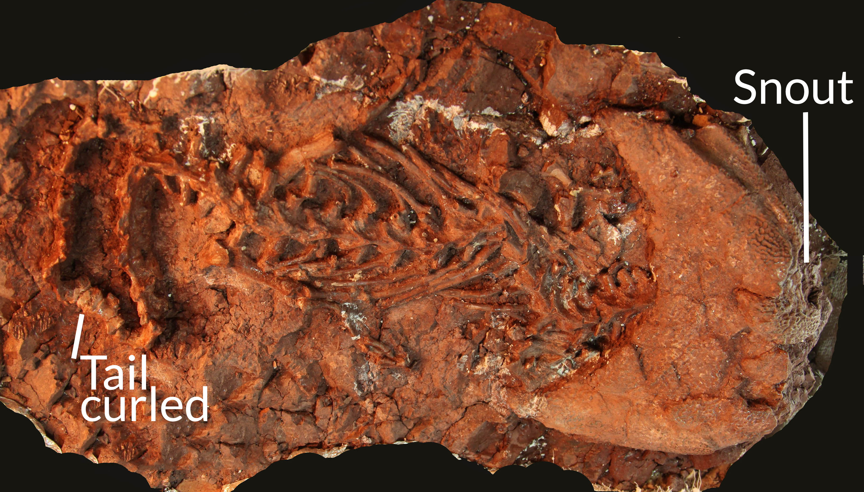 dimetrodon fossil