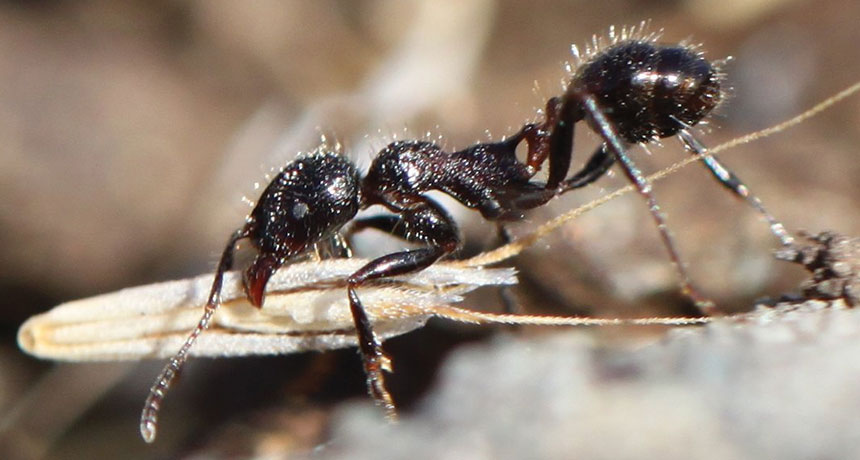a harvester ant
