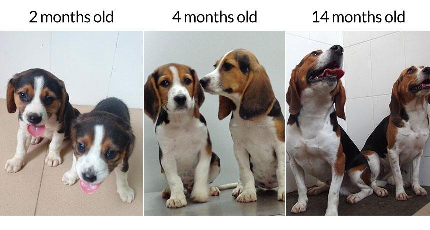 CRISPR beagles