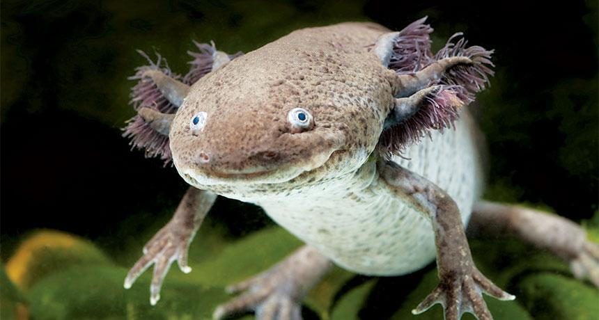axolotl salamander