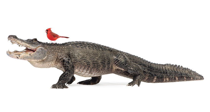 alligator with a  bird on its head