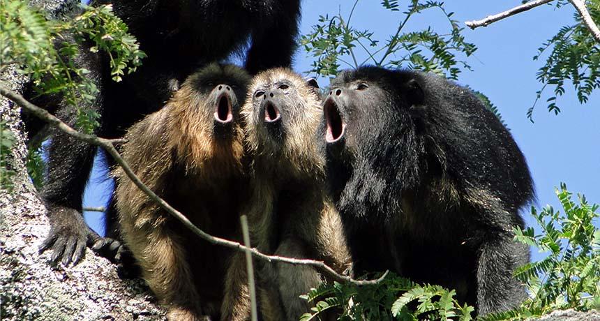 a choir of howler monkeys